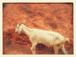 Goat up the mountain in Palleja